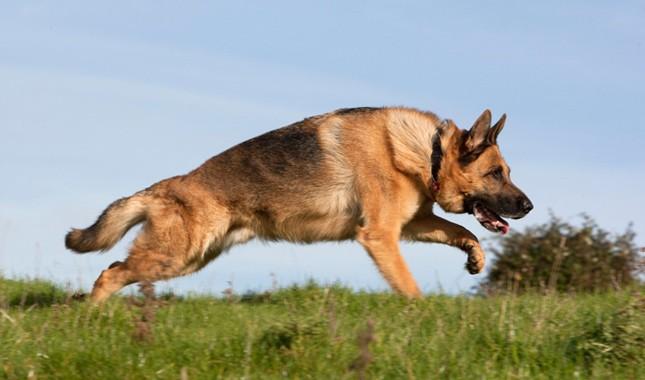German-Shepherd-Dog-4