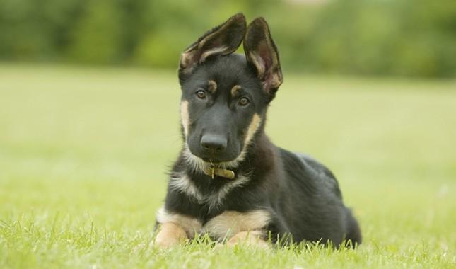 German-Shepherd-Dog-5