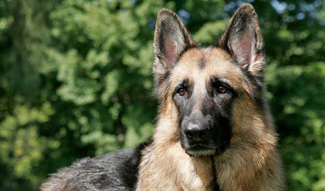 German-Shepherd-Dog-7