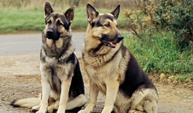 German-Shepherd-Dog-8