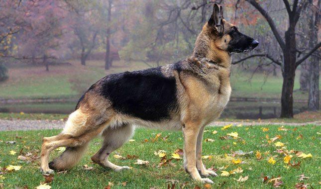 German-Shepherd-Dog-9