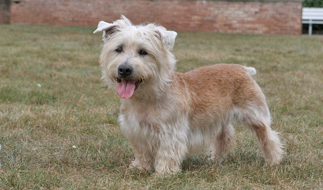 Glen-of-Imaal-Terrier-2