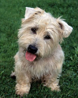 Glen-of-Imaal-Terrier-4