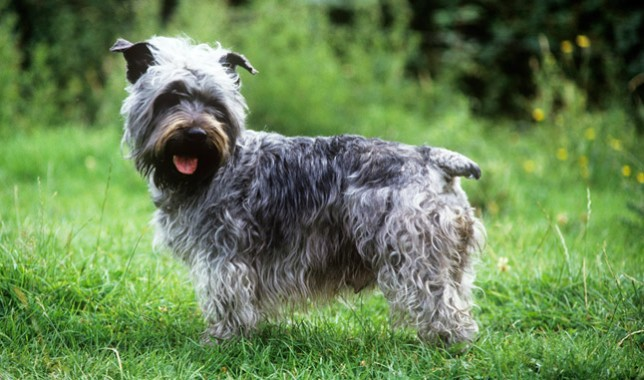 Glen-of-Imaal-Terrier