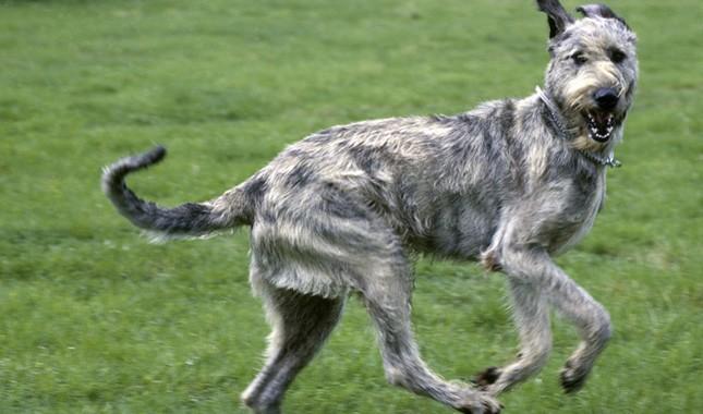 Irish-Wolfhound-1