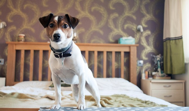 Jack-Russell-Terrier-Parson-Russell-Terrier-1