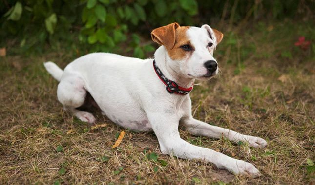 Jack-Russell-Terrier-Parson-Russell-Terrier-10