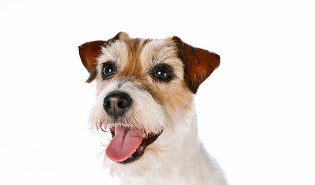 Jack-Russell-Terrier-Parson-Russell-Terrier-11