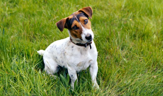 Jack-Russell-Terrier-Parson-Russell-Terrier-12