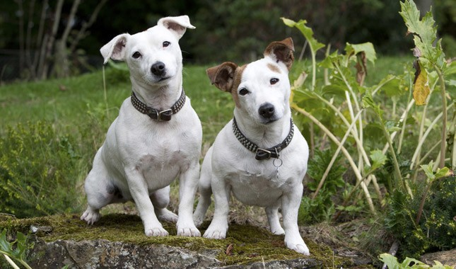 Jack-Russell-Terrier-Parson-Russell-Terrier-13