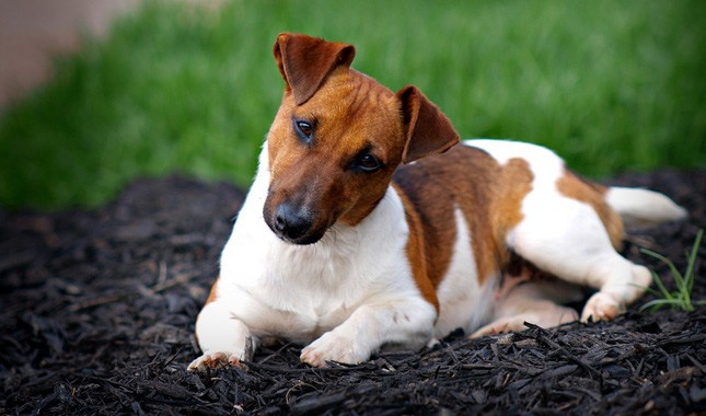 Jack-Russell-Terrier-Parson-Russell-Terrier-15