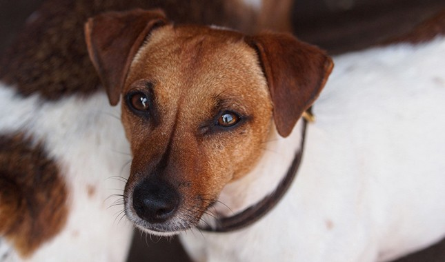 Jack-Russell-Terrier-Parson-Russell-Terrier-16