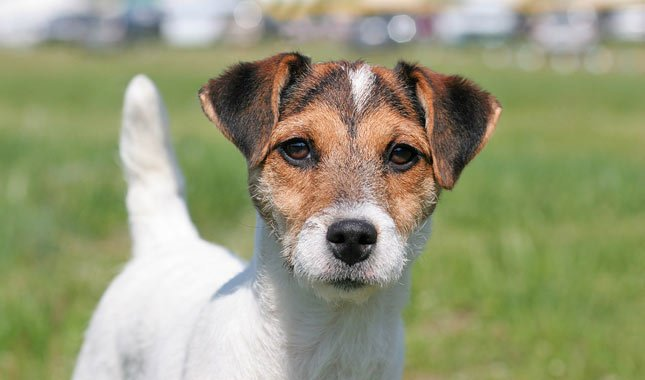 Jack-Russell-Terrier-Parson-Russell-Terrier-2