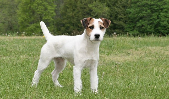 Jack-Russell-Terrier-Parson-Russell-Terrier-3