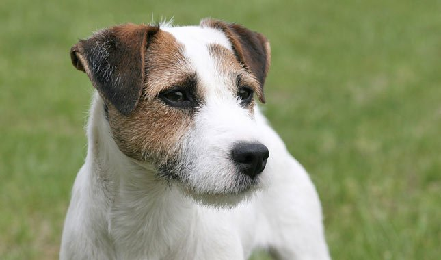 Jack-Russell-Terrier-Parson-Russell-Terrier-4