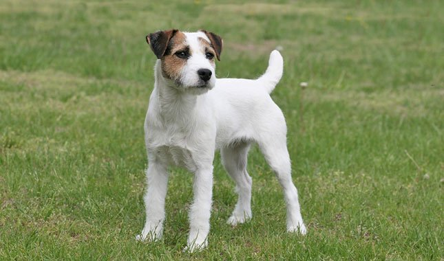 Jack-Russell-Terrier-Parson-Russell-Terrier-5