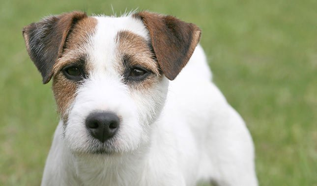 Jack-Russell-Terrier-Parson-Russell-Terrier-6
