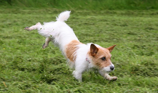 Jack-Russell-Terrier-Parson-Russell-Terrier-7