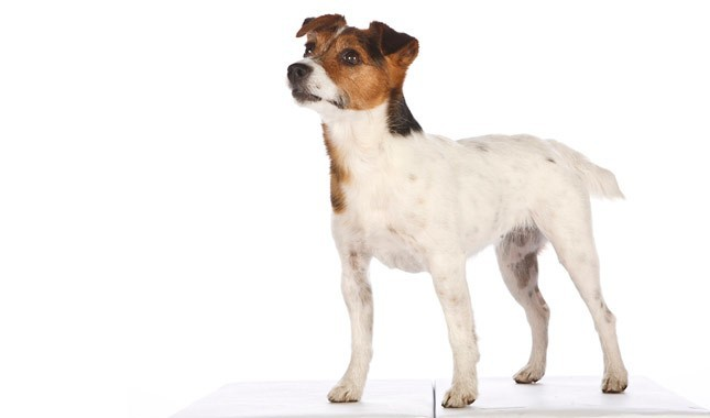 Jack-Russell-Terrier-Parson-Russell-Terrier-8