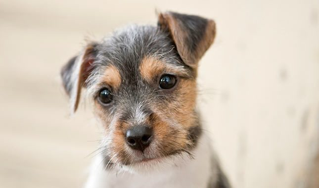 Jack-Russell-Terrier-Parson-Russell-Terrier-9