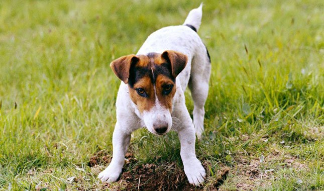 Jack-Russell-Terrier-Parson-Russell-Terrier