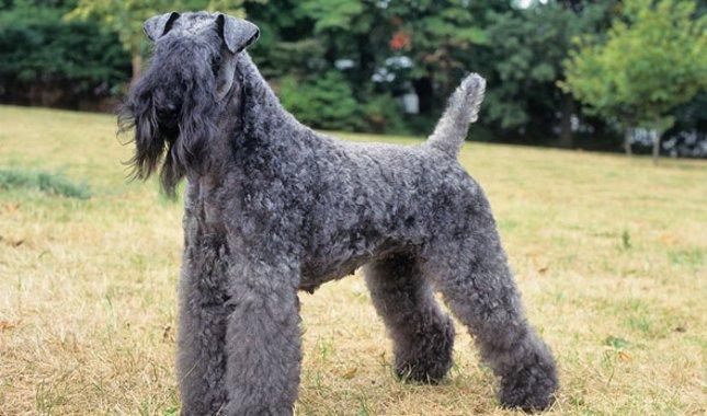 Kerry-Blue-Terrier-1