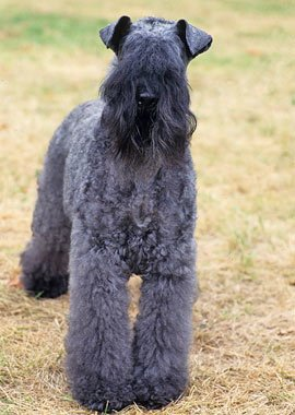 Kerry-Blue-Terrier-3