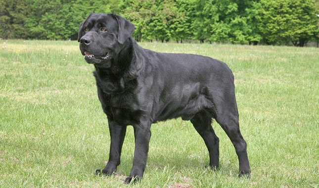 Labrador-Retriever-10