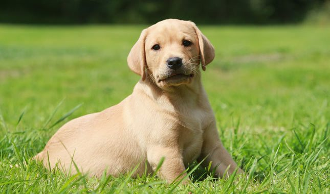 Labrador-Retriever-12