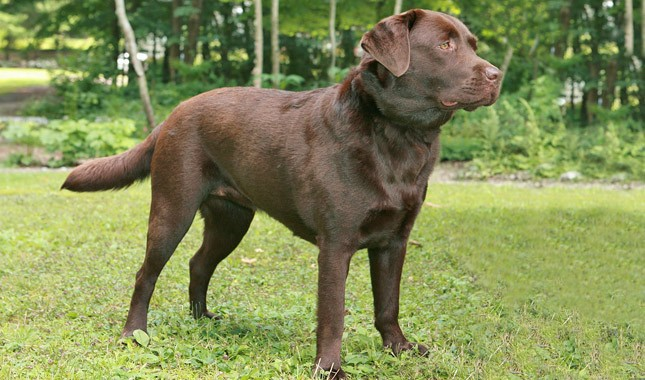 Labrador-Retriever-14