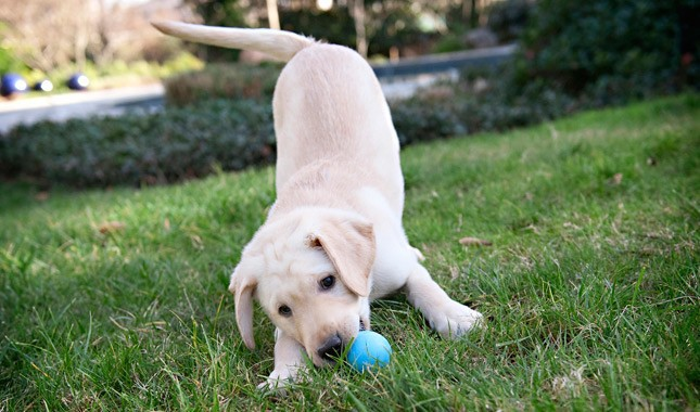 Labrador-Retriever-6