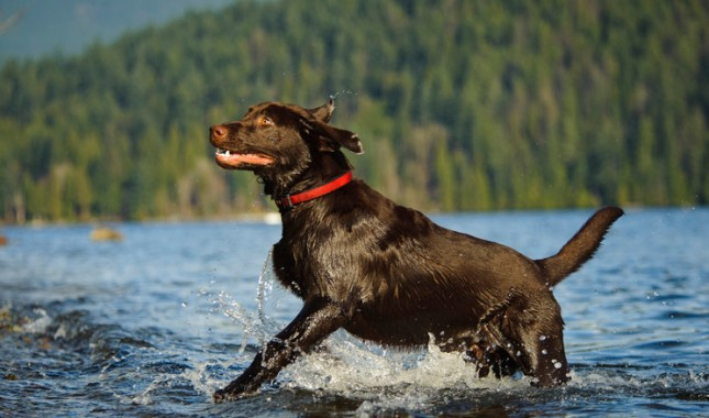 Labrador-Retriever-7